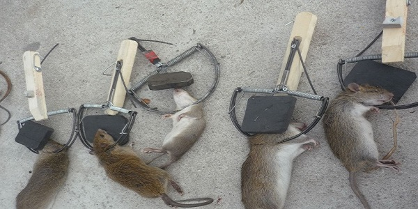 Dịch vụ diệt chuột tận gốc Củ Chi