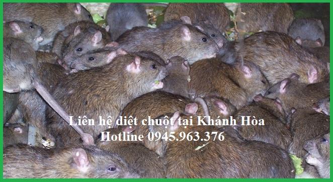 cong-ty-diet-chuot-tinh-khanh-hoa