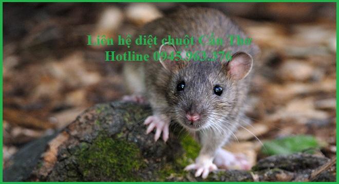 dich-vu-diet-chuot-tan-goc-tai-can-tho