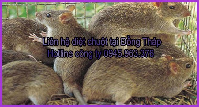 cong-ty-diet-chuot-tinh-dong-thap