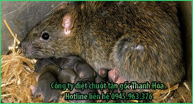 cong-ty-diet-chuot-tinh-thanh-hoa