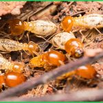 Dịch vụ diệt mối tận gốc tại Nam Định – Bán thuốc diệt mối sinh học