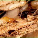 Dịch vụ diệt mối huyện Quốc Oai – Bán thuốc diệt mối tại nhà