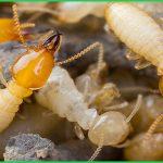 Dịch vụ diệt mối sinh học tại nhà – Công ty diệt mối Tân Nguyên