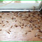 Cách đuổi mối cánh ra khỏi nhà đơn giản – Diệt kiến cánh nhanh