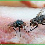 Tác hại của loài ruồi như thế nào?